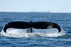 Affectation de l'ouïe des baleines