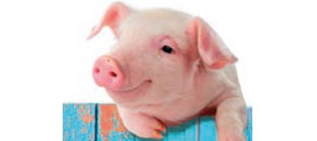 Les petits cochons, ça peut rendre sourd