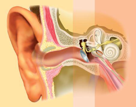 Le système auditif