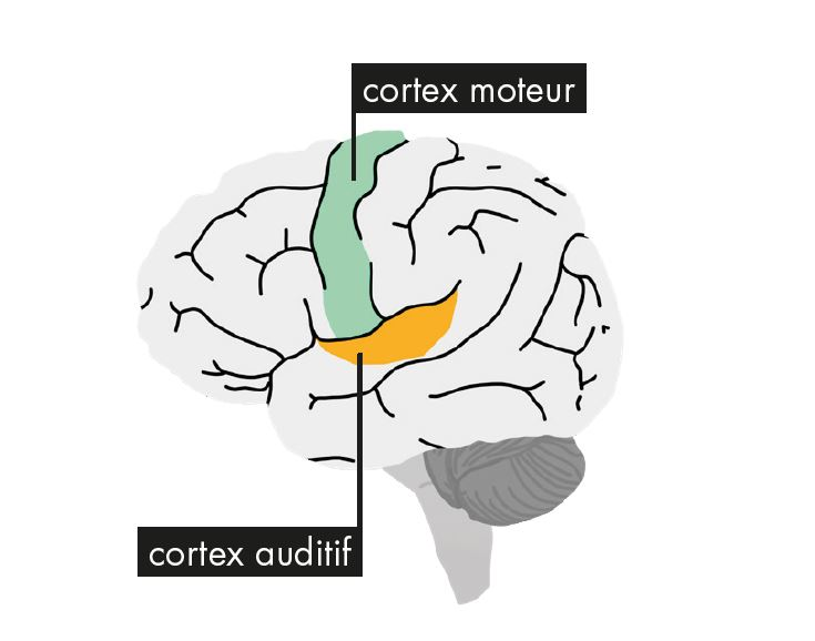 Entendre fait travailler deux cortex de notre cerveau