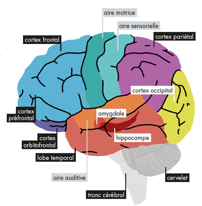 La musique agit à de nombreux niveaux dans le cerveau