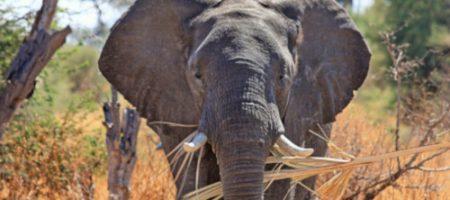 Les oreilles et la bonne audition de l'éléphant impressionnent