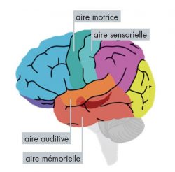 Zones du cerveau où agit la musique